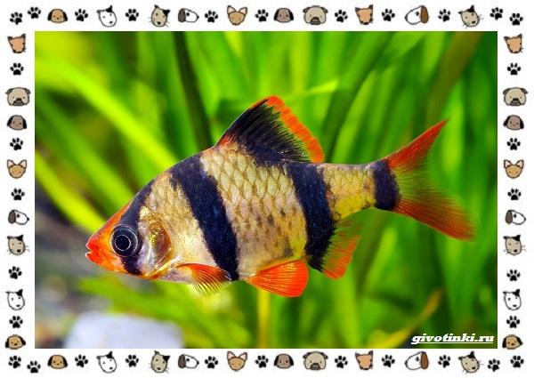 20-самых-красивых-видов-пресноводных-аквариумных-рыб-для-домашнего-содержания-46