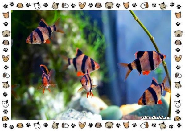 20-самых-красивых-видов-пресноводных-аквариумных-рыб-для-домашнего-содержания-47