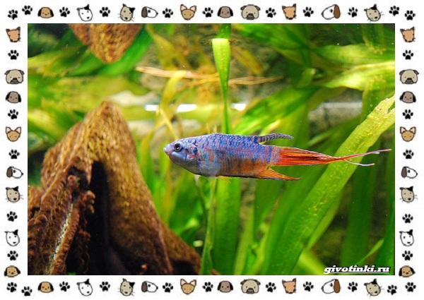20-самых-красивых-видов-пресноводных-аквариумных-рыб-для-домашнего-содержания-49