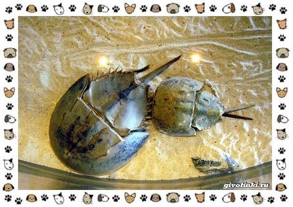 Мечехвост-древнейшее-членистоногое-животное-12