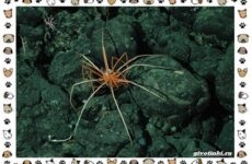 Морской паук – совсем не паукообразное