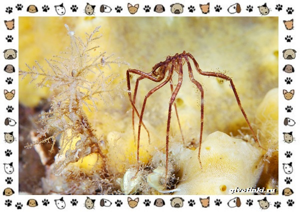 Морской-паук-совсем-не-паукообразное-11