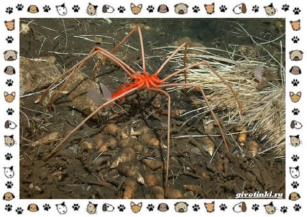 Морской-паук-совсем-не-паукообразное-12