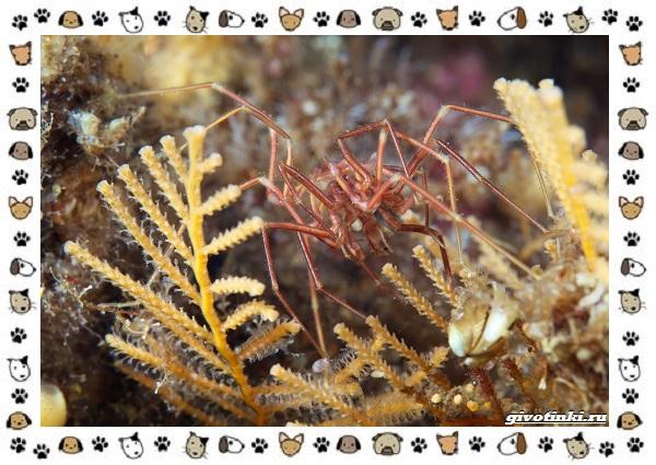 Морской-паук-совсем-не-паукообразное-13