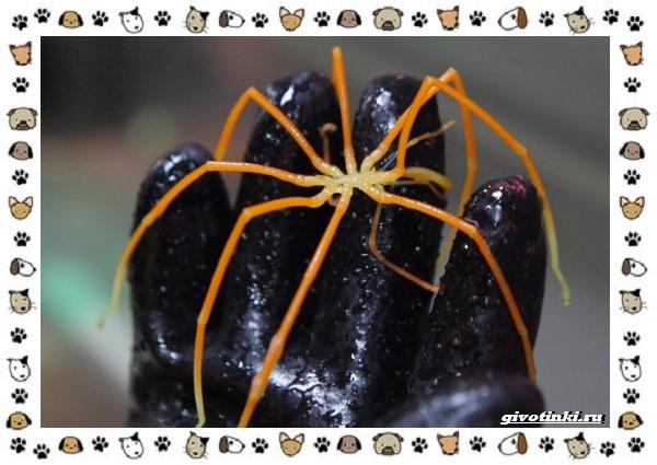 Морской-паук-совсем-не-паукообразное-14