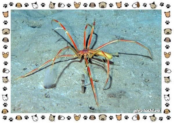 Морской-паук-совсем-не-паукообразное-3
