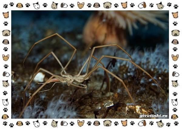 Морской-паук-совсем-не-паукообразное-4