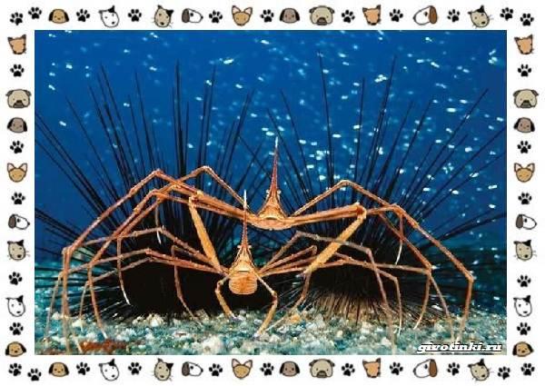 Морской-паук-совсем-не-паукообразное-7