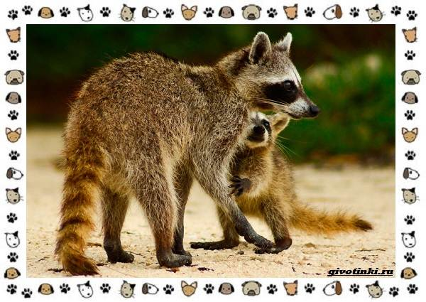 Виды-енотов-кому-они-родственники-и-на-кого-похожи-10