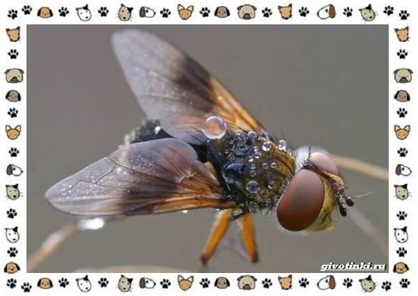 Виды-мух-о-простых-существах-в-сложных-деталях-21